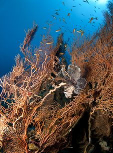 Lionfish In Gorgonian Sea Fan Stock Photography
