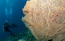 Gorgonian Sea Fan And Diver Royalty Free Stock Image