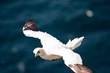 Flying Gannet Stock Image