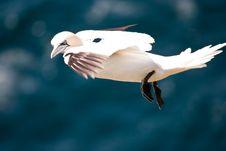 Free Flying Gannet Stock Images - 15154584