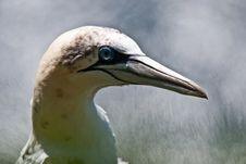 Gannet Closeup Stock Photo