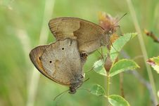 Free Mating Butterflies Stock Image - 15155711