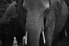 Free Elephant Portrait From Tanzania Stock Photography - 15155712