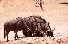 Free Herd Of Blue Wildebeest (Connochaetes Taurinus) Stock Image - 15155871
