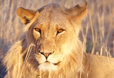 Lion (panthera Leo) Close-up Stock Images