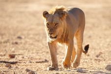 Free Lion (panthera Leo) In Savannah Royalty Free Stock Photo - 15155885