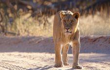 Free Lioness (panthera Leo) Stock Photo - 15155890