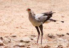 Free Secretary Bird (Sagittarius Serpentarius) Royalty Free Stock Photos - 15155898