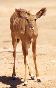 Free Single Kudu (Tragelaphus Strepsiceros) Stock Photos - 15155903