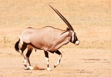 Single Gemsbok (Oryx Gazella) Stock Images