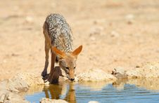 Free Black-backed Jackal (Canis Mesomelas) Royalty Free Stock Photo - 15155915