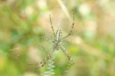 Free Wasp Spider Stock Photography - 15156022