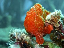 Free Red Frogfish Royalty Free Stock Image - 15156346