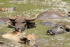 Buffalo Thailand Stock Photos