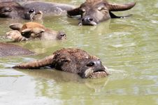 Buffalo Thailand Stock Photography