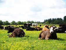 Free Resting Cows Royalty Free Stock Photos - 15158468