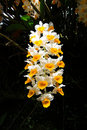 Free Thai Orchids Royalty Free Stock Image - 15165046