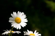Free Daisy Royalty Free Stock Image - 15162116