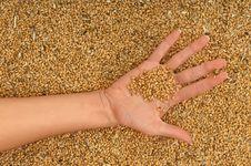 Free Wheat Royalty Free Stock Image - 15163546