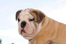 Free Bulldog Pup 3 Stock Photo - 15163980