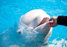 Free Friendly Beluga Whale Stock Photos - 15164093