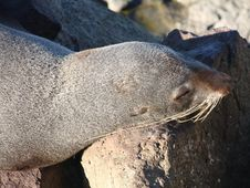 Sleepy New Zealand Fur Seal. Stock Photography