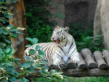 Free Bengal White Tiger 5 Royalty Free Stock Image - 15164616