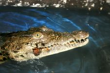Free Crocodile Stock Photography - 15165822