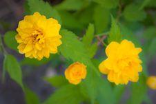 Free Yellow Trio Stock Photos - 15166013