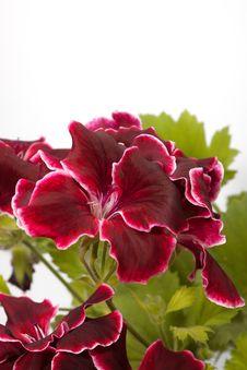 Free Blossoming Geranium Royalty Free Stock Photos - 15166418
