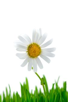 Free Chamomile And Green Grass Royalty Free Stock Images - 15166659