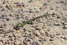 Free Cute Newt Stock Photography - 15167162