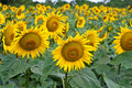 Free Sunflower Field Royalty Free Stock Photography - 15172417
