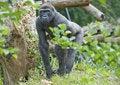 Free Adult Male Gorilla Stock Photo - 15175570