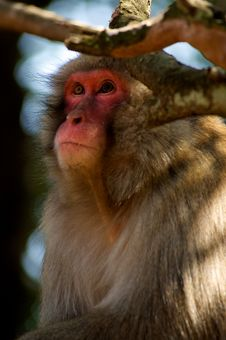 Free Japanese Macaque Royalty Free Stock Photos - 15170938