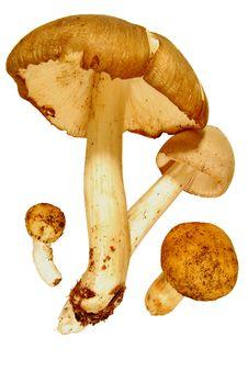 Free Mushrooms Stock Image - 15171211