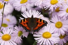 Free Tortoiseshell Butterfly Royalty Free Stock Photos - 15171278