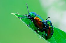 Dogbane Beetles Royalty Free Stock Photo