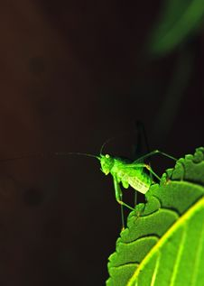 Free Grasshopper On A Leaf Royalty Free Stock Images - 15171519