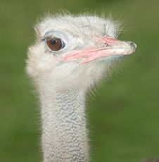 Close-up Of An Ostrich, Male Stock Images