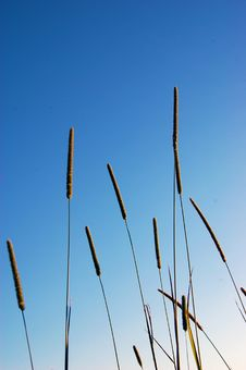 Free Tall Grasses Royalty Free Stock Image - 15171576