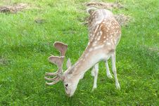 Free Fallow Deer ( Dama Dama ) Royalty Free Stock Photography - 15171587