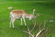 Free Fallow Deer, Male / Dama Dama Royalty Free Stock Images - 15171629