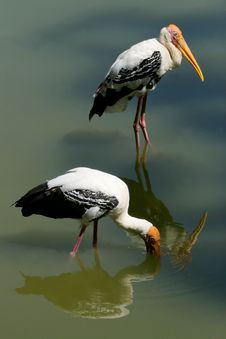 Free Two Stork Royalty Free Stock Image - 15171676