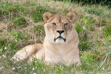 Free A Lioness Resting On The Grass Royalty Free Stock Photos - 15171718