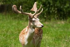 Fallow Deer ( Dama Dama ) Stock Photography