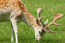 Fallow Deer ( Dama Dama ) Stock Photos