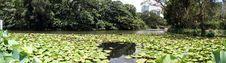 Free A Lake Of Lotus Royalty Free Stock Images - 15172619