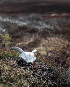 Free Sheep Skull On Moorland Stock Photos - 15174673
