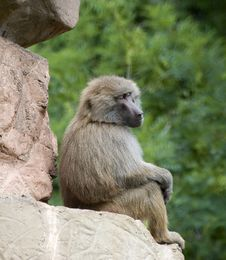Free Baboon Sitting Royalty Free Stock Photos - 15174848